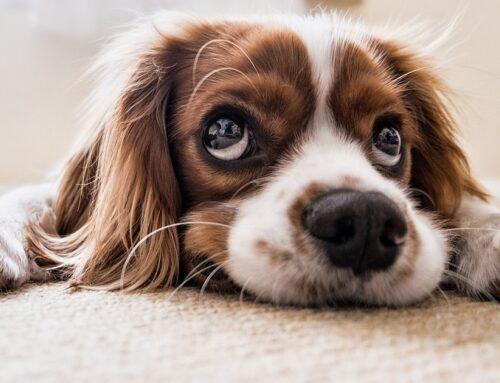 Cómo mantener limpia tu alfombra si tienes mascotas