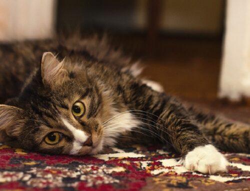 Limpieza de alfombras y tapicerías segura para tus mascotas