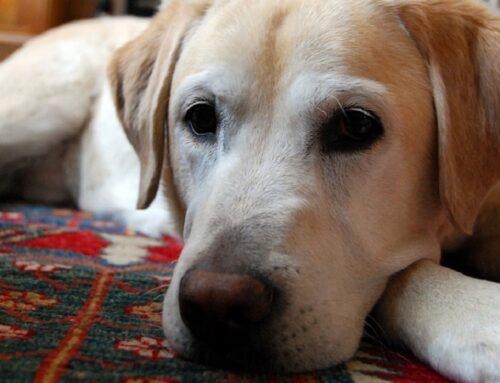 El mejor amigo del hombre, el peor enemigo de las alfombras